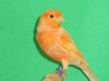 Кенар  оранж шиммель