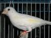 Белый птенчик