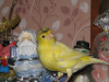 Желтая хохлатая шиммель