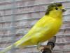 Самец желтый интенсив