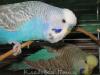 Голубой серокрылый классик