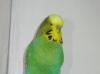 Самец зеленый классик
